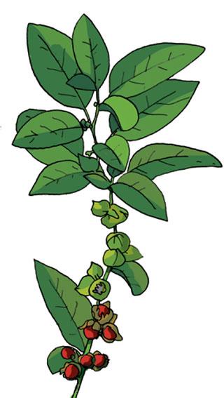 Plante Ashwagandha | Bienfaits - Biologique - Vertus santé